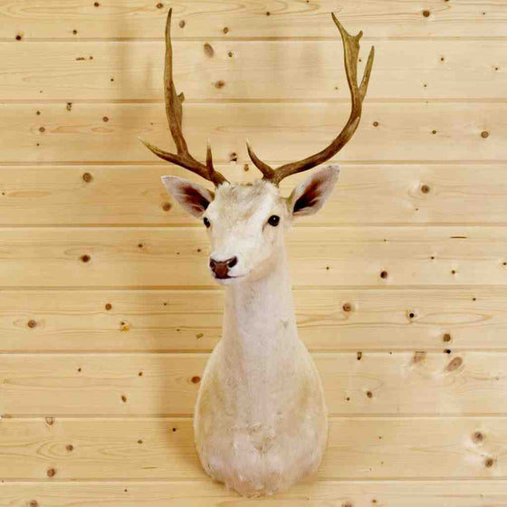 White Fallow Deer Taxidermy Mount