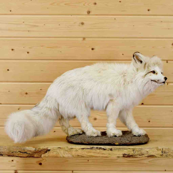 White Fox Mount for Sale