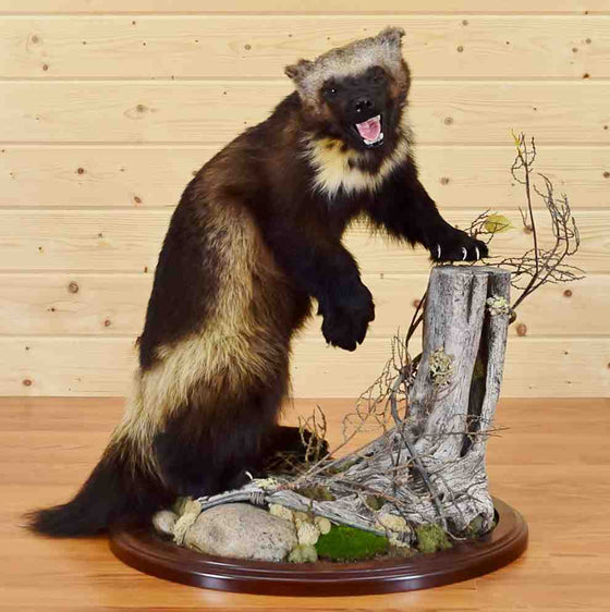 Wolverine Taxidermy Mount