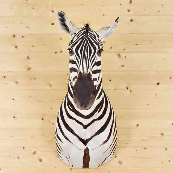 Zebra Taxidermy for Sale