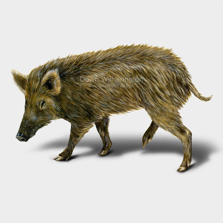 This drawing of a wild pig, Sus scrofa, is beautifully detailed.