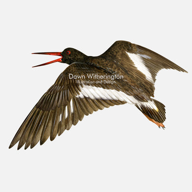 This beautiful illustration of an American oystercatcher, Haematopus palliatus, is biologically accurate in detail..