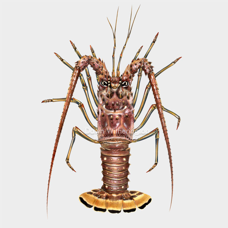 This beautiful illustration of a Caribbean spiny lobster, Panulirus argus, is biologically accurate in detail.