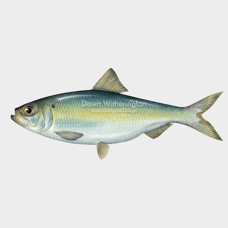 This beautiful illustration of an alewife, Alosa pseudoharengus, is biologically accurate in detail.