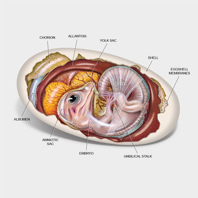 This cutaway illustration of an American alligator, Alligator mississippiensis, embryo is biologically accurate in detail.