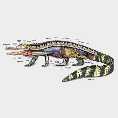 This beautiful illustration of the lateral anatomy of an American alligator, Alligator mississippiensis, is biologically accurate in detail.