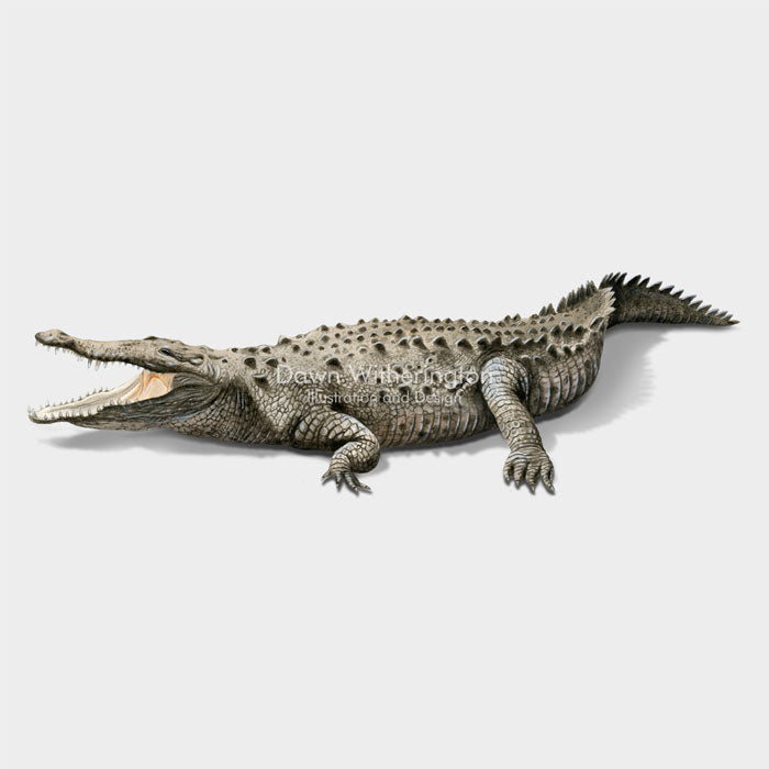 This illustration of an American crocodile, Crocodylus acutus, is biologically accurate in detail.