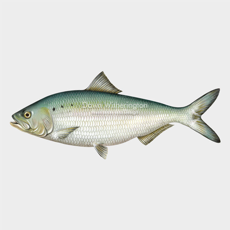 This beautiful drawing of an American shad, Alosa sapidissima, is biologically accurate in detail.