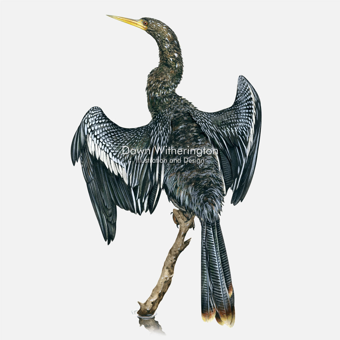 This beautiful illustration of an adult male anhinga, Anhinga anhinga, is biologically accurate in detail.