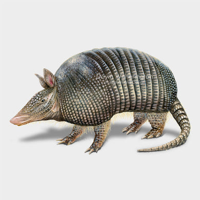 This illustration of a nine-banded armadillo, Dasypus novemcinctusa, is beautifully detailed.