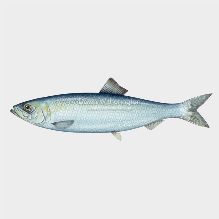 This wonderful drawing of an Atlantic herring, Clupea harengus, is biologically accurate in detail.