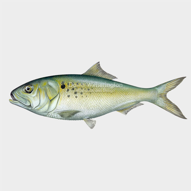 This beautiful illustration of an Atlantic menhaden, Brevoortia tyrannus, is biologically accurate in detail.