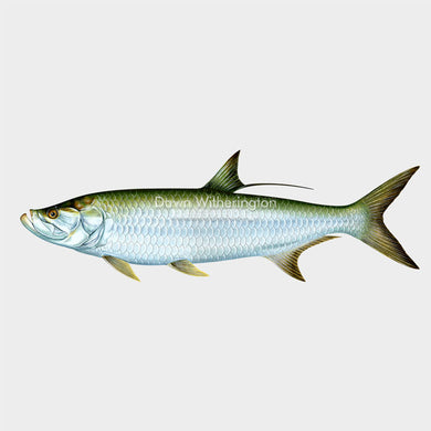 This beautiful drawing of an Atlantic tarpon, Megalops atlanticus, is biologically accurate in detail.
