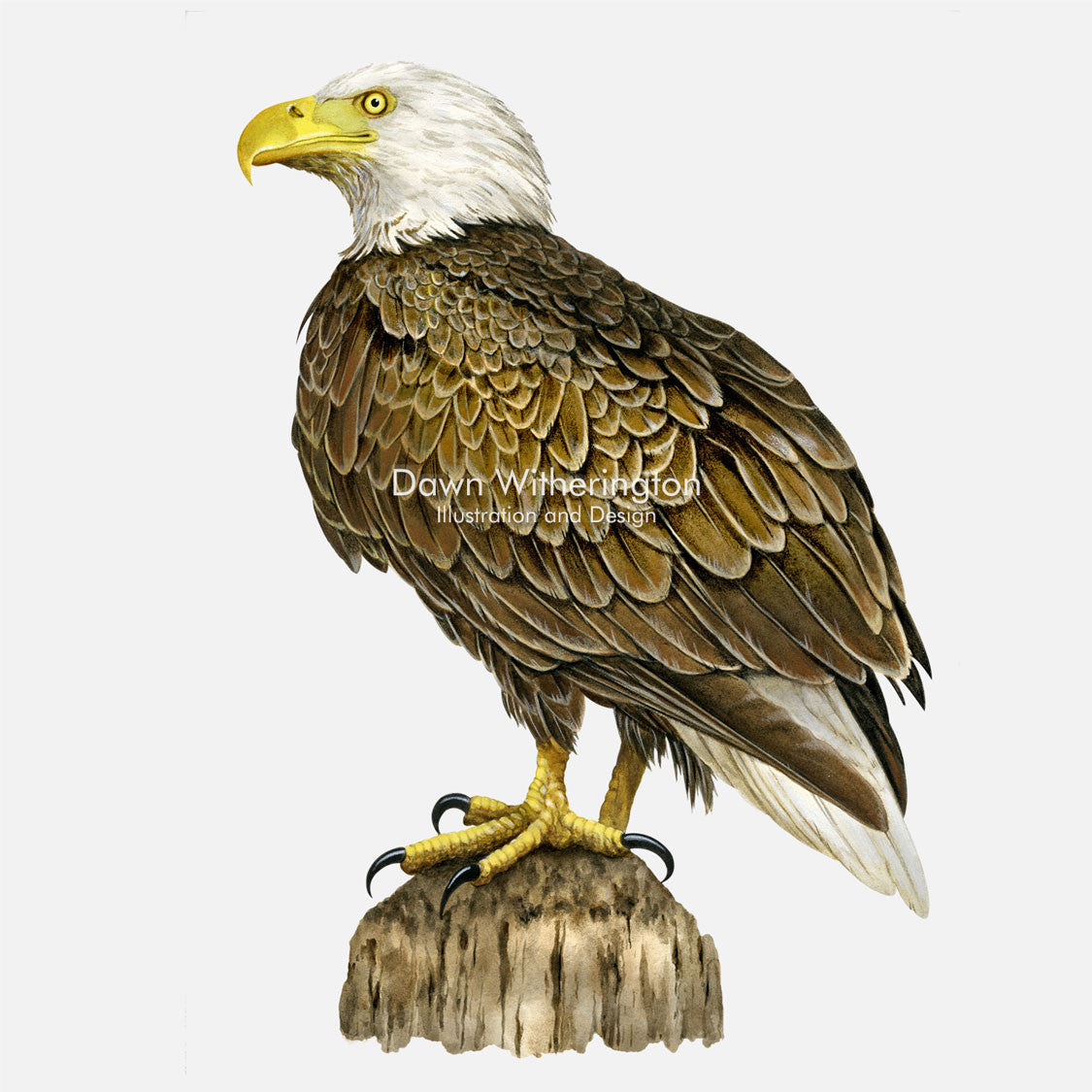 This beautiful illustration of a bald eagle, Haliaeetus leucocephalus, is biologically accurate in detail.