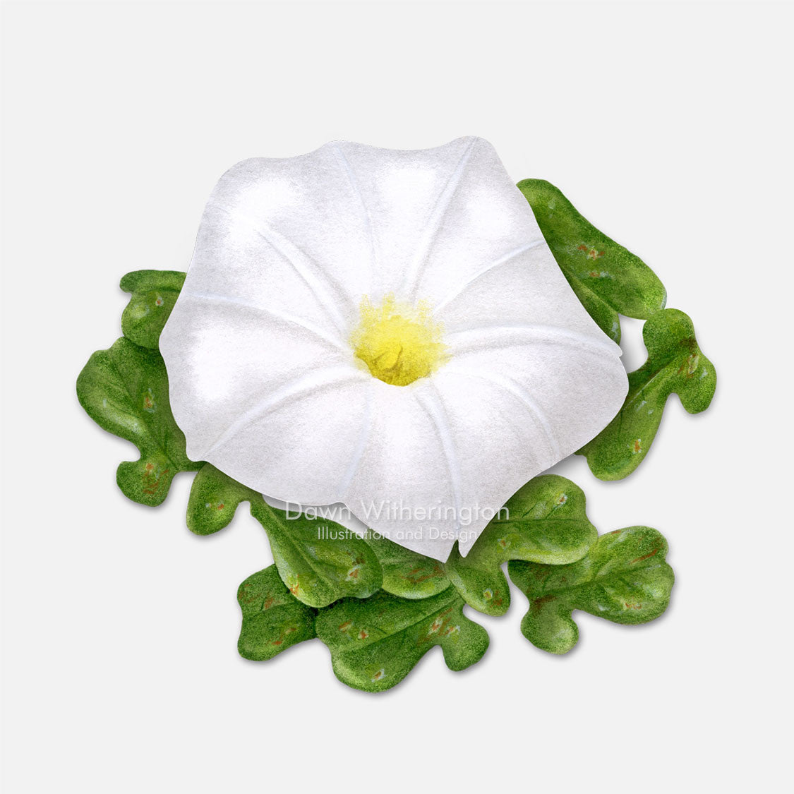This beautiful illustration of beach morning-glory (Ipomoea imperati), is botanically accurate in detail.