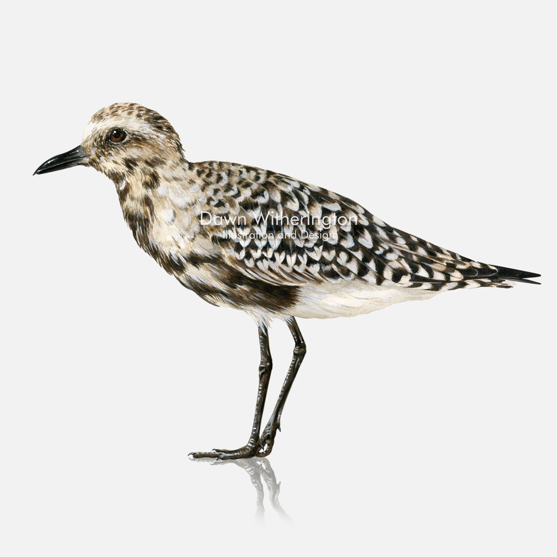 This beautiful illustration of a black-bellied plover, Pluvialis squatarola, with vestiges of breeding plumage, is biologically accurate in detail.