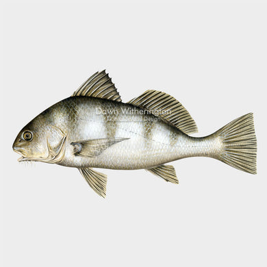 This beautiful drawing of a black drum, Pogonias cromis, is biologically accurate in detail.