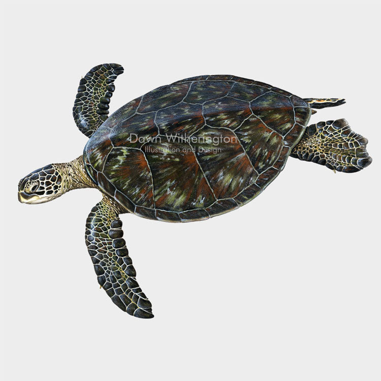 This beautiful drawing of an eastern Pacific green turtle (black turtle) (Chelonia mydas) is biologically accurate in detail.