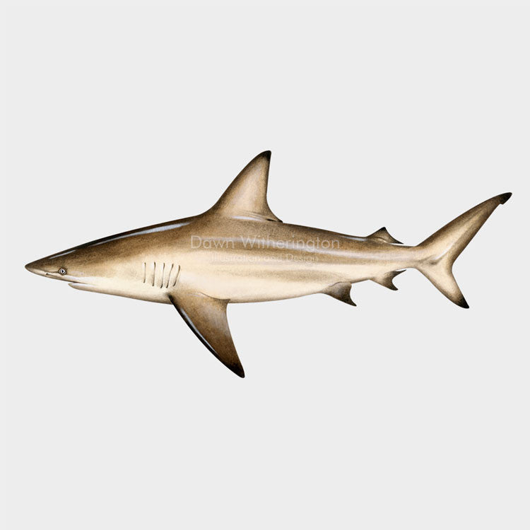 This beautiful illustration of a blacktip shark, Carcharhinus limbatus, is biologically accurate in detail.