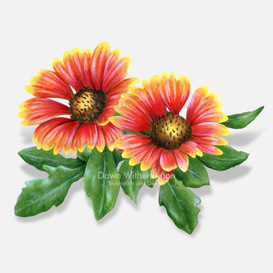 This beautiful illustration of Indian blanket flower (firewheel), Gaillardia pulchella, is botanically accurate in detail.