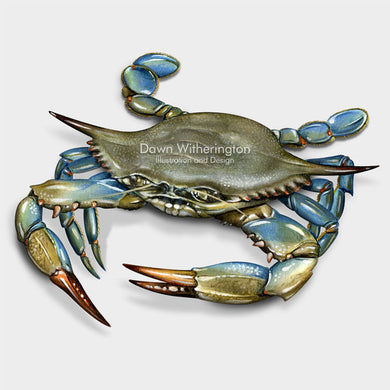 This beautiful illustration of a blue crab, Callinectes sapidus, is biologically accurate in detail.