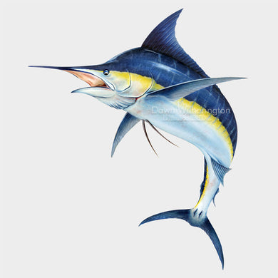 This beautiful drawing of an Atlantic blue marlin, Makaira nigricans, is biologically accurate in detail.