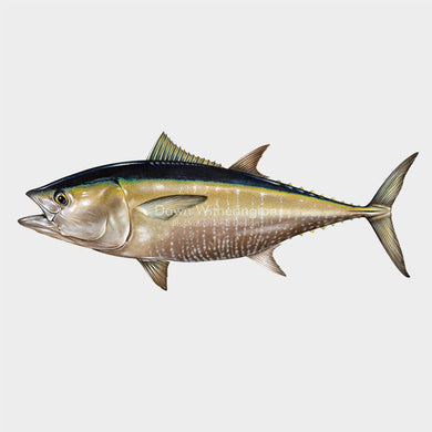 This wonderful drawing of an Atlantic bluefin tuna, Thunnus thynnus, is biologically accurate in detail.