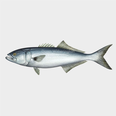 Illustration of This wonderful drawing of a bluefish, Pomatomus saltatrix, is biologically accurate in detail.