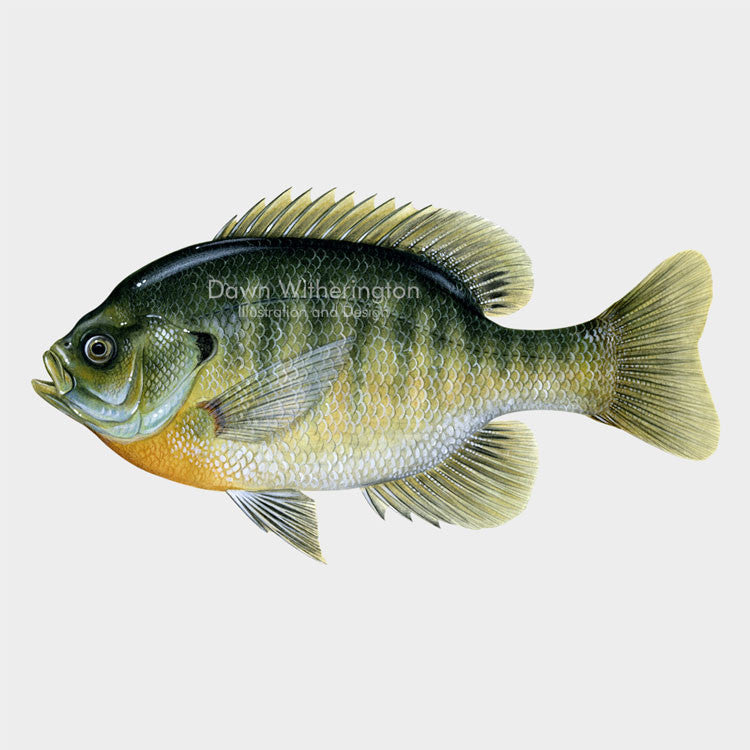 This beautiful drawing of a bluegill, Lepomis macrochirus, is biologically accurate in detail.