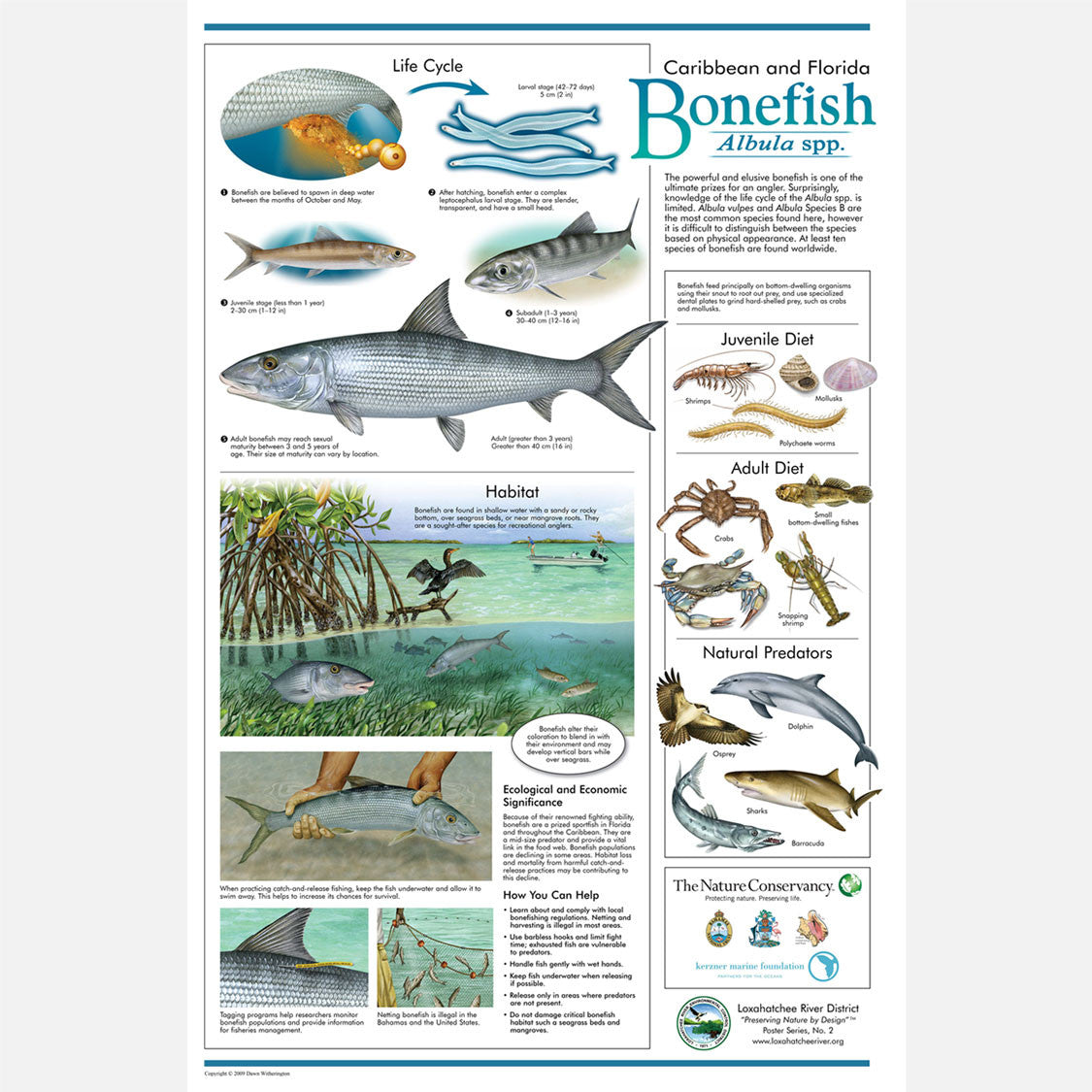 This beautiful poster provides information about Caribbean and Florida Bonefish, Albula spp.
