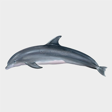 This illustration of a common bottlenose dolphin, Tursiops truncatus, is biologically accurate in detail.