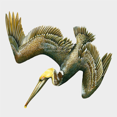 This beautiful illustration of a diving brown pelican, Pelecanus occidentalis, is biologically accurate in detail.