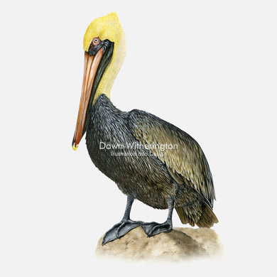 This beautiful illustration of a brown pelican, Pelecanus occidentalis, with chick, is biologically accurate in detail.