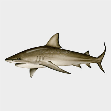 This beautiful illustration of a  bull shark, Carcharhinus leucas, is biologically accurate in detail.
