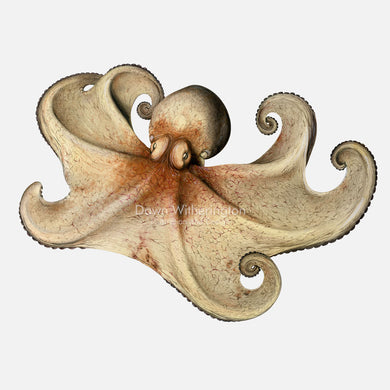 This beautiful drawing of a Caribbean reef octopus, Octopus briareus, is biologically accurate in detail.