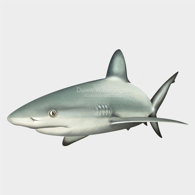 This beautiful illustration of a Caribbean reef shark, Carcharhinus perezii, is biologically accurate in detail.