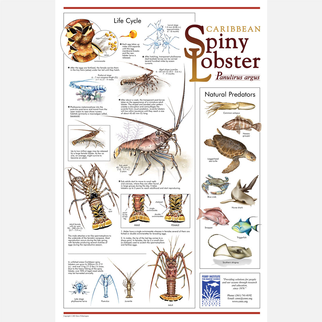 This beautiful poster provides information about the Caribbean Spiny Lobster, Panulirus argus.