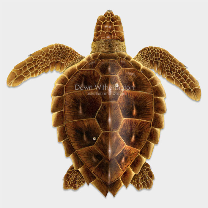 This beautiful illustration of a juvenile loggerhead sea turtle, Caretta caretta, is biologically accurate in detail.