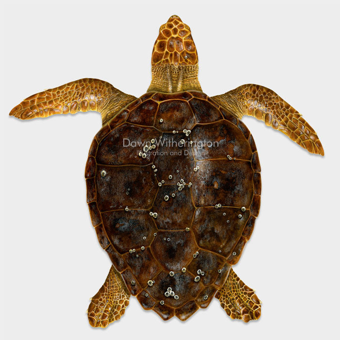 This beautiful illustration of an subadult loggerhead sea turtle, Caretta caretta, is biologically accurate in detail.