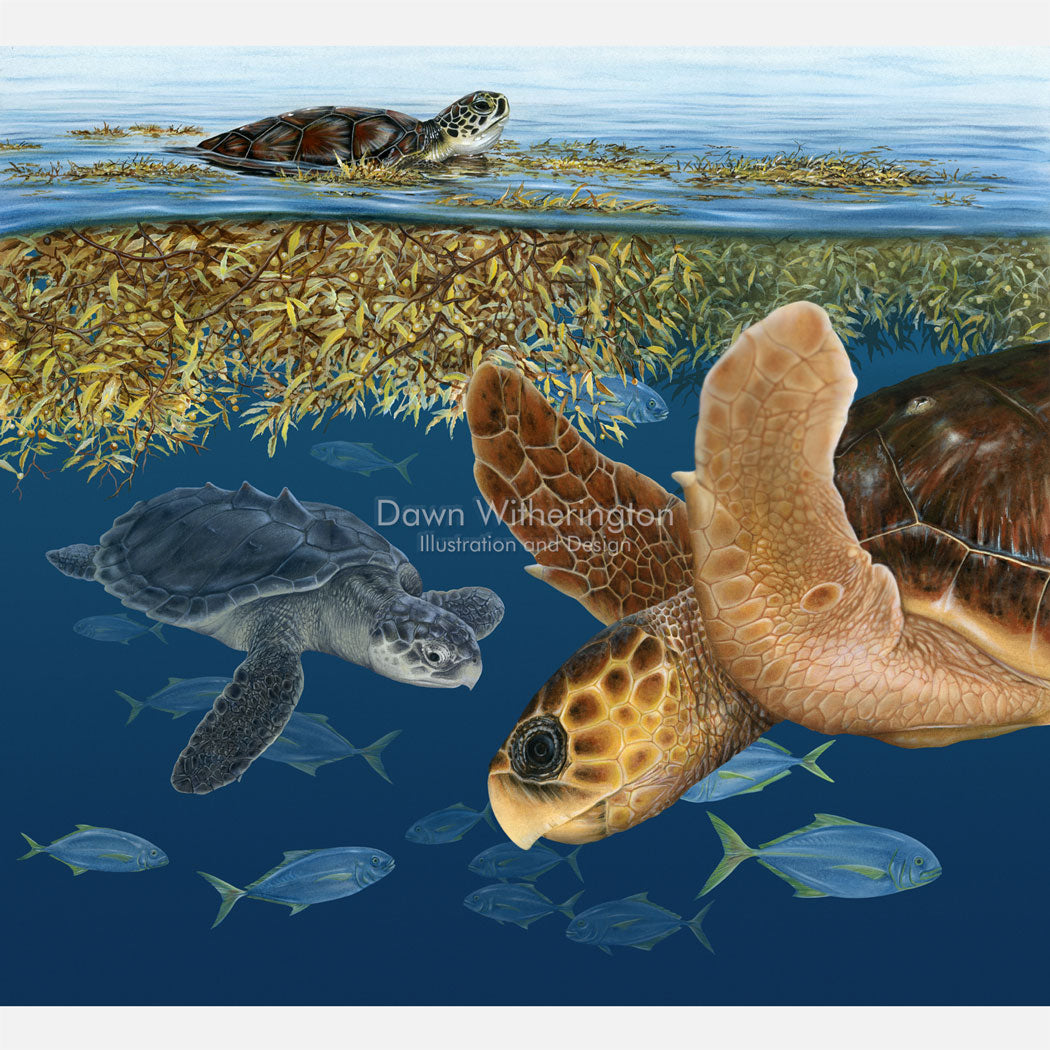 This beautiful illustration of a green turtle, a Kemp's ridley, and a loggerhead sea turtle in sargassum seaweed, is biologically accurate in detail.
