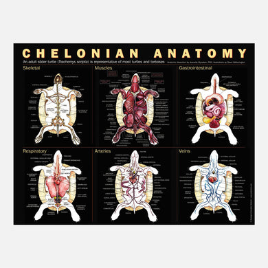 This beautiful chelonian anatomy poster shows skeletal, muscular, gastro-intestinal, respiratory, arterial, and venous systems.