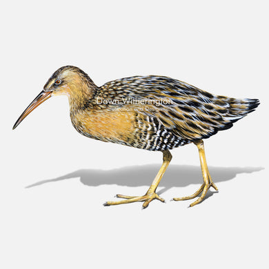 This beautiful illustration of a clapper rail, Rallus crepitans, with chick, is biologically accurate in detail.