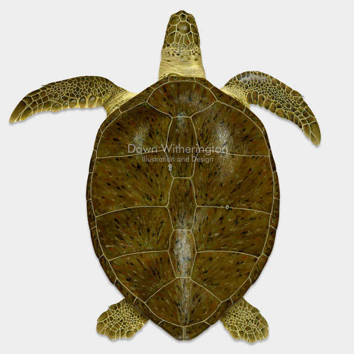 Adult green turtle