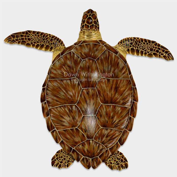 This beautiful drawing of a benthic juvenile green sea turtle, Chelonia mydas, is biologically accurate in detail.