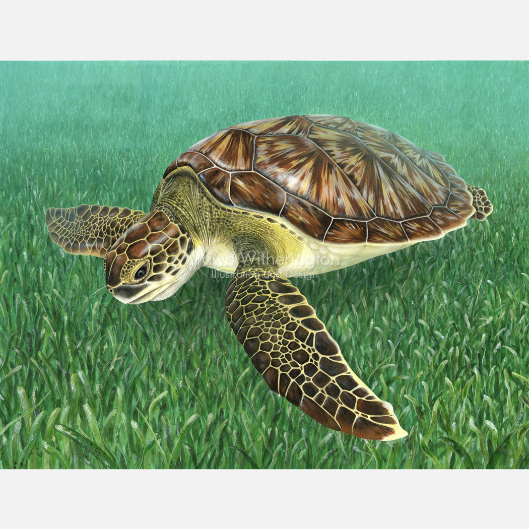 This beautiful, highly detailed illustration is of a juvenile green turtle, Chelonia midas, swimming over turtle grass, Thalassia testudinum.