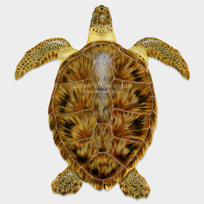 This beautiful drawing of a juvenile green sea turtle, Chelonia mydas, is biologically accurate in detail.