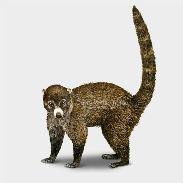 This drawing of a coatimund, Nasua nasua, is beautifully detailed.