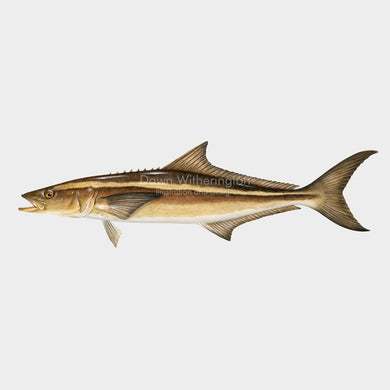 This wonderful drawing of a cobia, Rachycentron canadum, is biologically accurate in detail.
