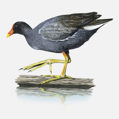 This beautiful illustration of common gallinule, Gallinula galeata, is biologically accurate in detail.