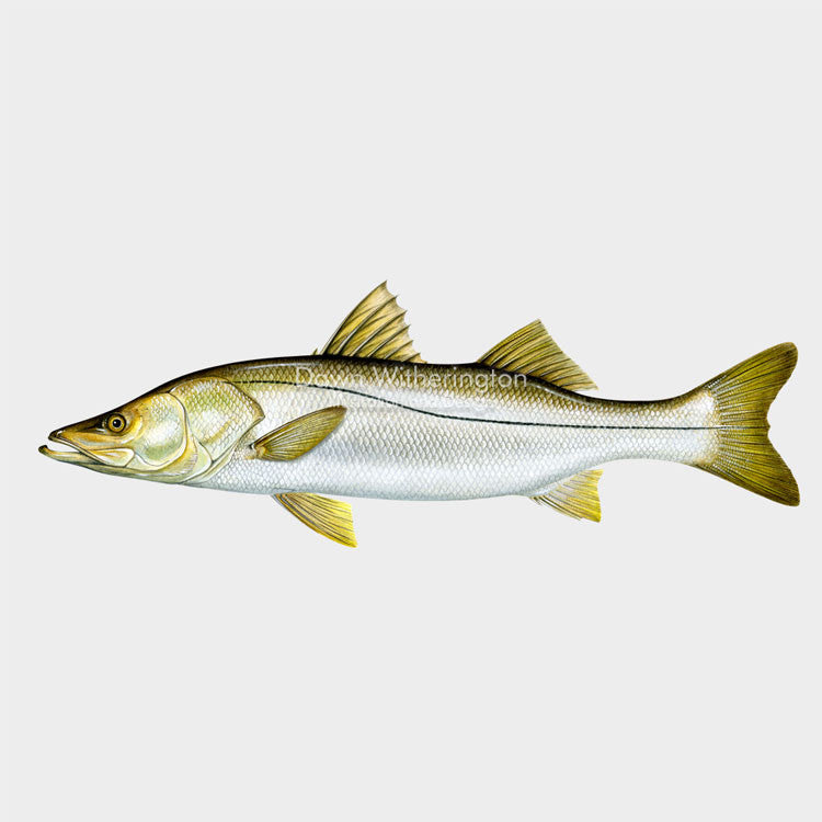 This beautiful illustration of a common snook, Centropomus undecimalis, is biologically accurate in detail.